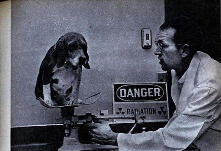 ¿Por qué se usan Beagles en la experimentación animal?